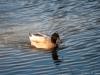 Rogue Duck