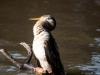 Australasian Darter Bird