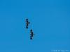 Whistling Kites