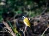 White-eared Honeyeater