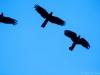 Yellow-Tailed Black Cockatoos