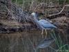 White-faced Grey Heron